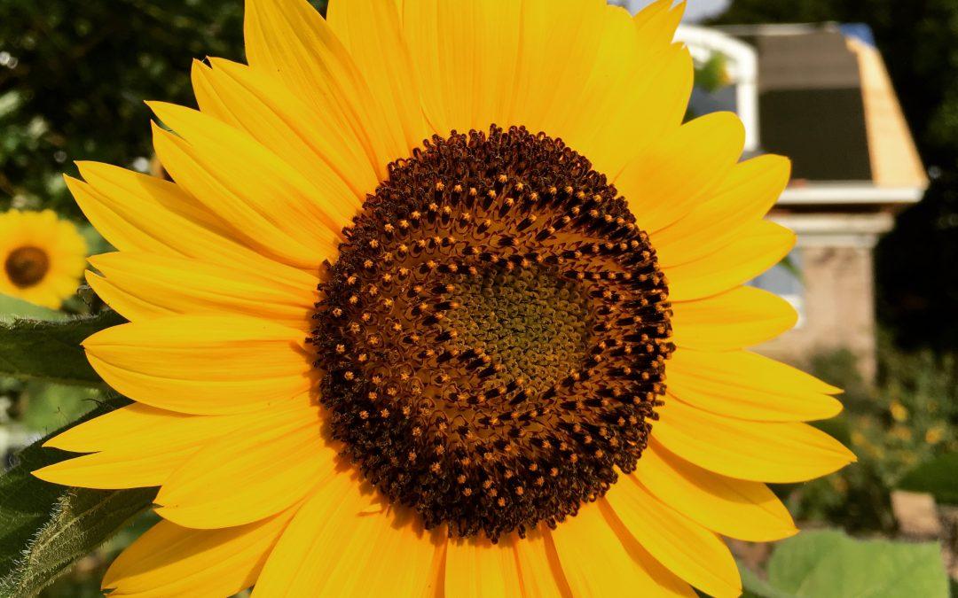 CT Sunflower